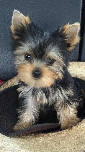 Wild West Yorkies, Txyorkie com, Yorkie Puppies for sale in