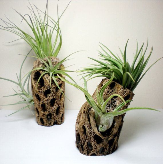 Air plants in cholla cactus wood tabletop air plant for Air plant art