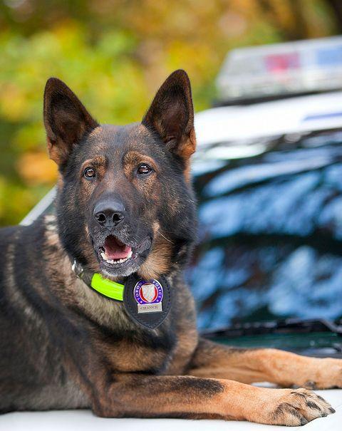 Toronto Police Dog Dog Hero War Dogs Military Dogs