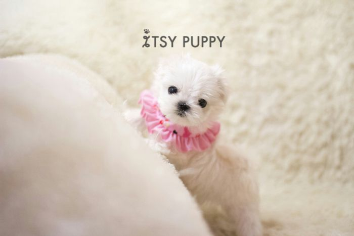 Sold Opal Micro Maltese Female Itsy Puppy Teacup Puppies For