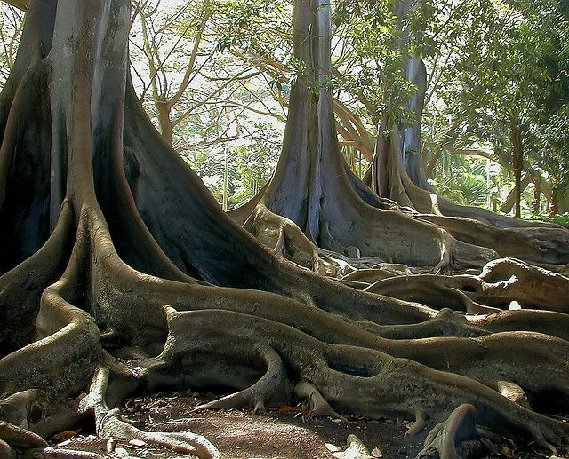Morton Bay Fig Tree, Allerton Gardens, Kauai, Hawaii; also famous for being filmed in Jurassic Park