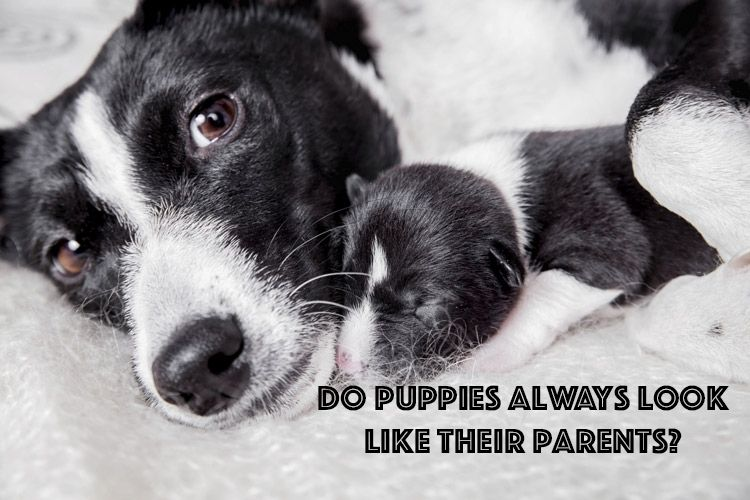 Does your puppy look like her parents? dogfacts dogs