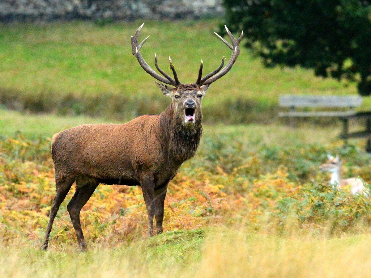 2022 Deer Rut Calendar.Bradgate Park Issues Warning Over 039 Aggressive Male Deer In Bradgate Deer Rut 2021 In 2021 Deer Rut Yearly Calendar Calendar