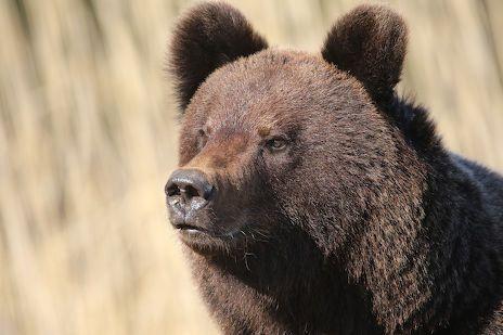 Karhu pysähtyi jossakin vaiheessa noin kymmenen metrin päähän Kujalasta ja katsoi häneen.