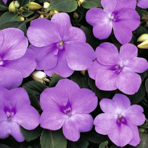 Electronics Cars Fashion Collectibles Coupons And More Ebay Flower Seeds Impatiens Plant Beautiful Flowers Wallpapers