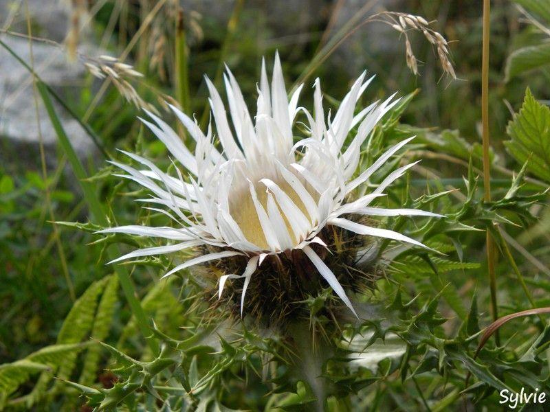 Les Fleurs De Nos Montagnes Fleurs De Montagne Fleurs Fleurs Etranges