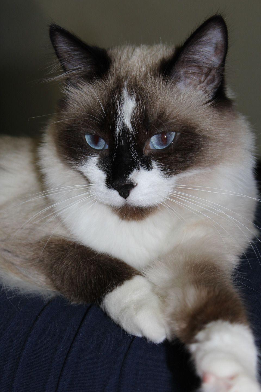 Beautiful Snowshoe cat Cats Pinterest