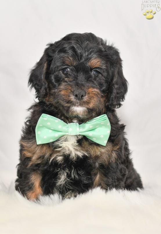 Cuddly♥ CavapooCavapooPuppy PuppiesOfPinterest