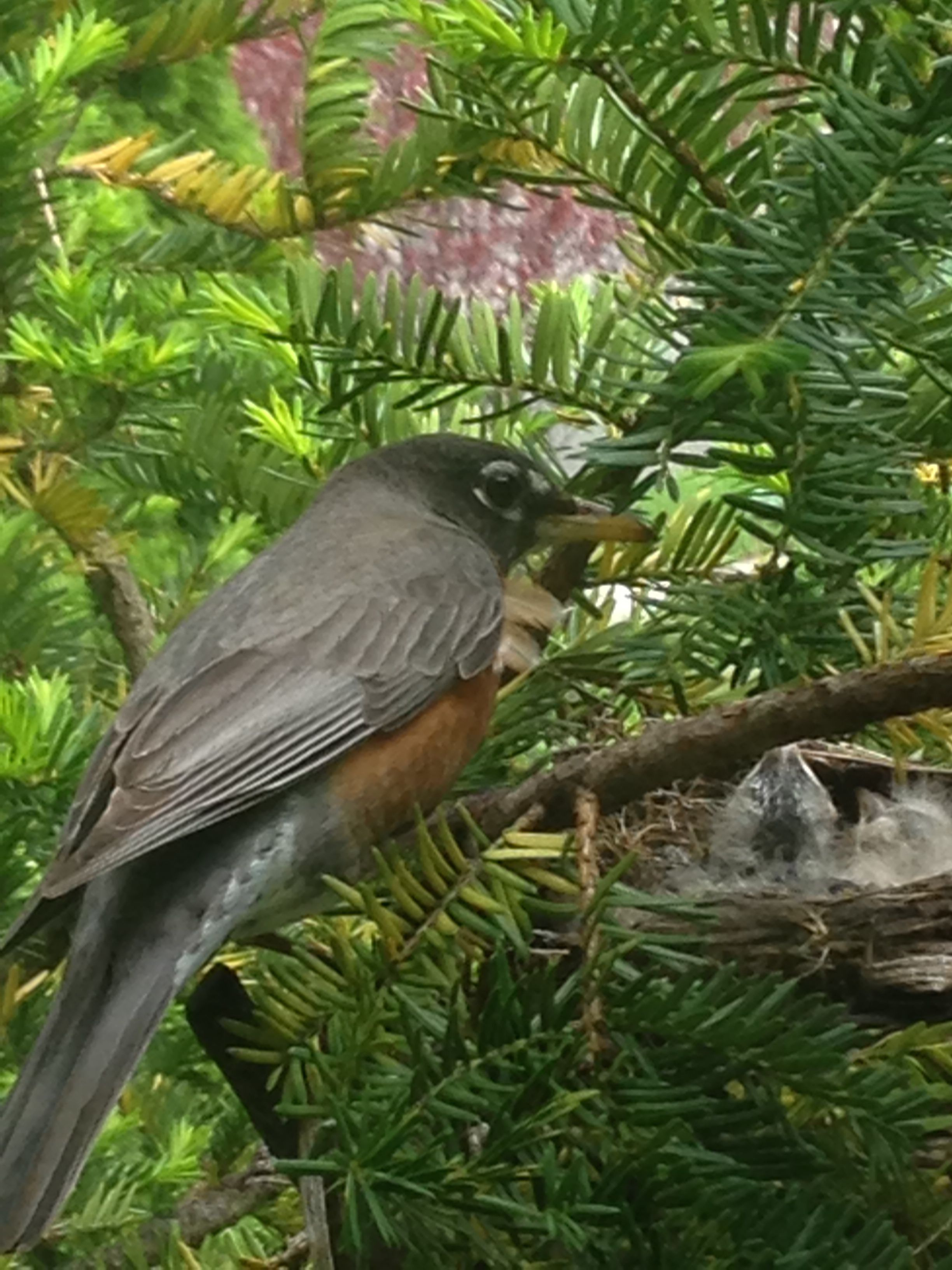 Robin watching over her babies #Bird #Robin Nest outside my window