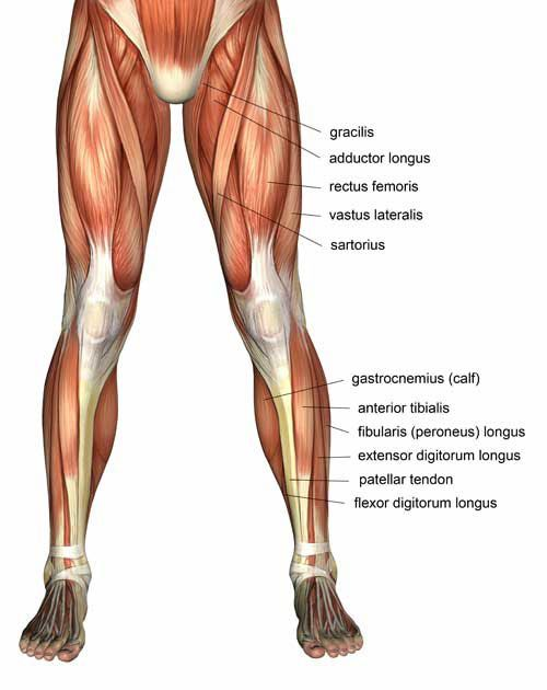 muscles in the the upper leg | for the thigh where it receives, Skeleton