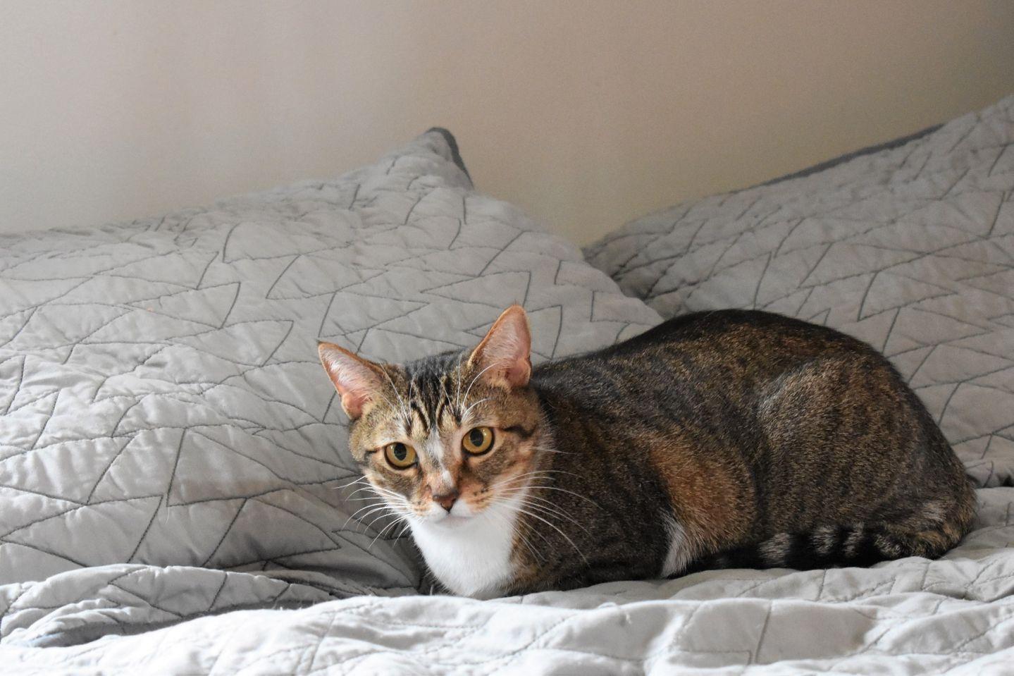 Adopt Mittens Athens, GA on Petfinder Animal society