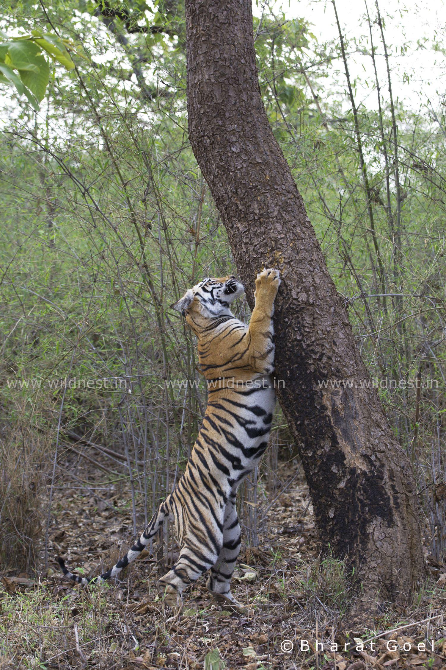 Royal Bengal Tiger marking its territory Wildlife of
