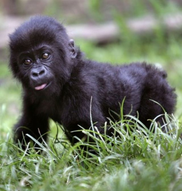 Baby mountain gorilla. So freaking cute. | Furry (and not ...