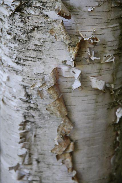 White birch bark.
