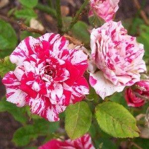 Toko Tanaman Hias Online Kebunbibit Tanaman Bunga Mawar