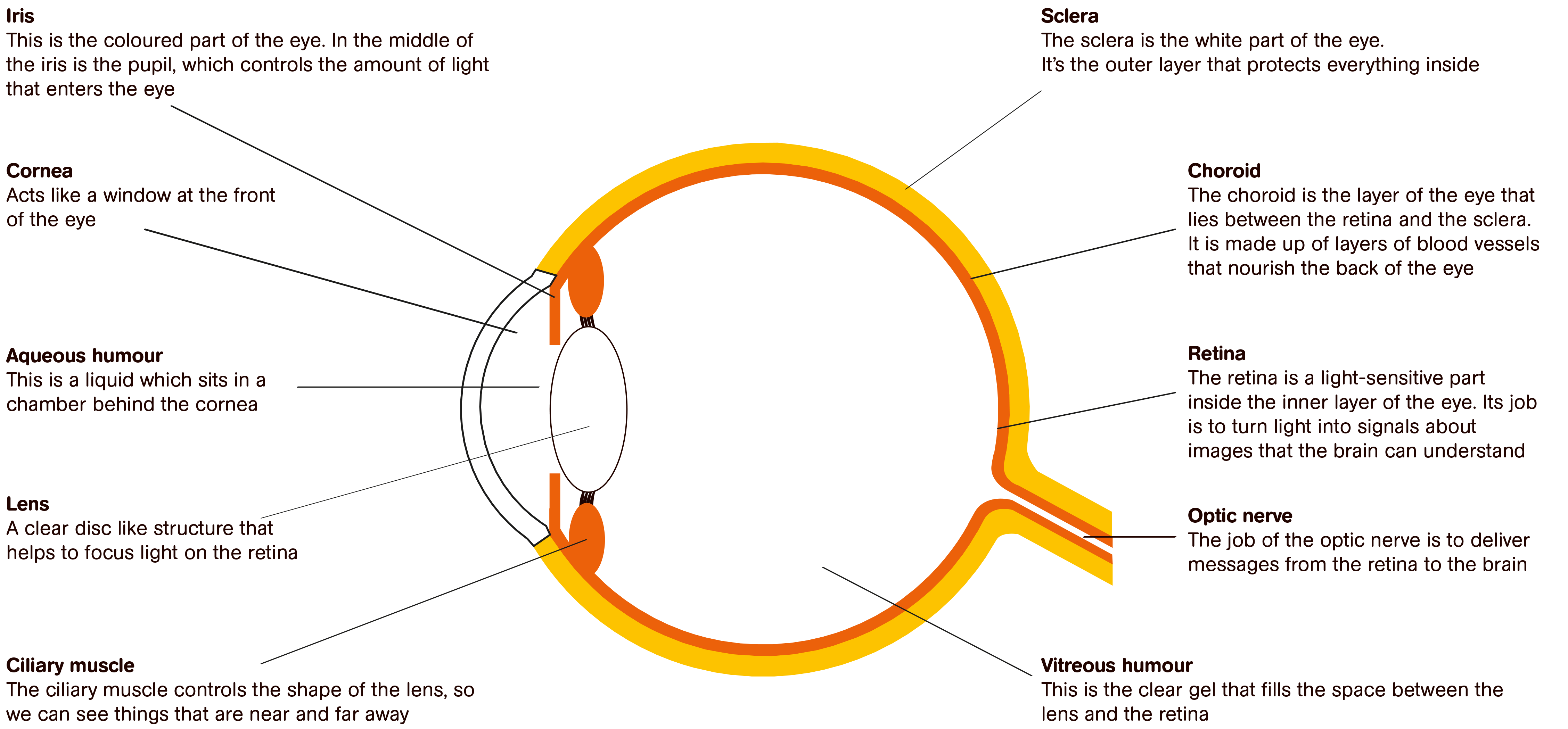 Graphic Of An Eye With Information About Its Different Parts Ngo
