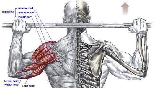 behind the neck shoulder press muscle diagrams weight. Black Bedroom Furniture Sets. Home Design Ideas