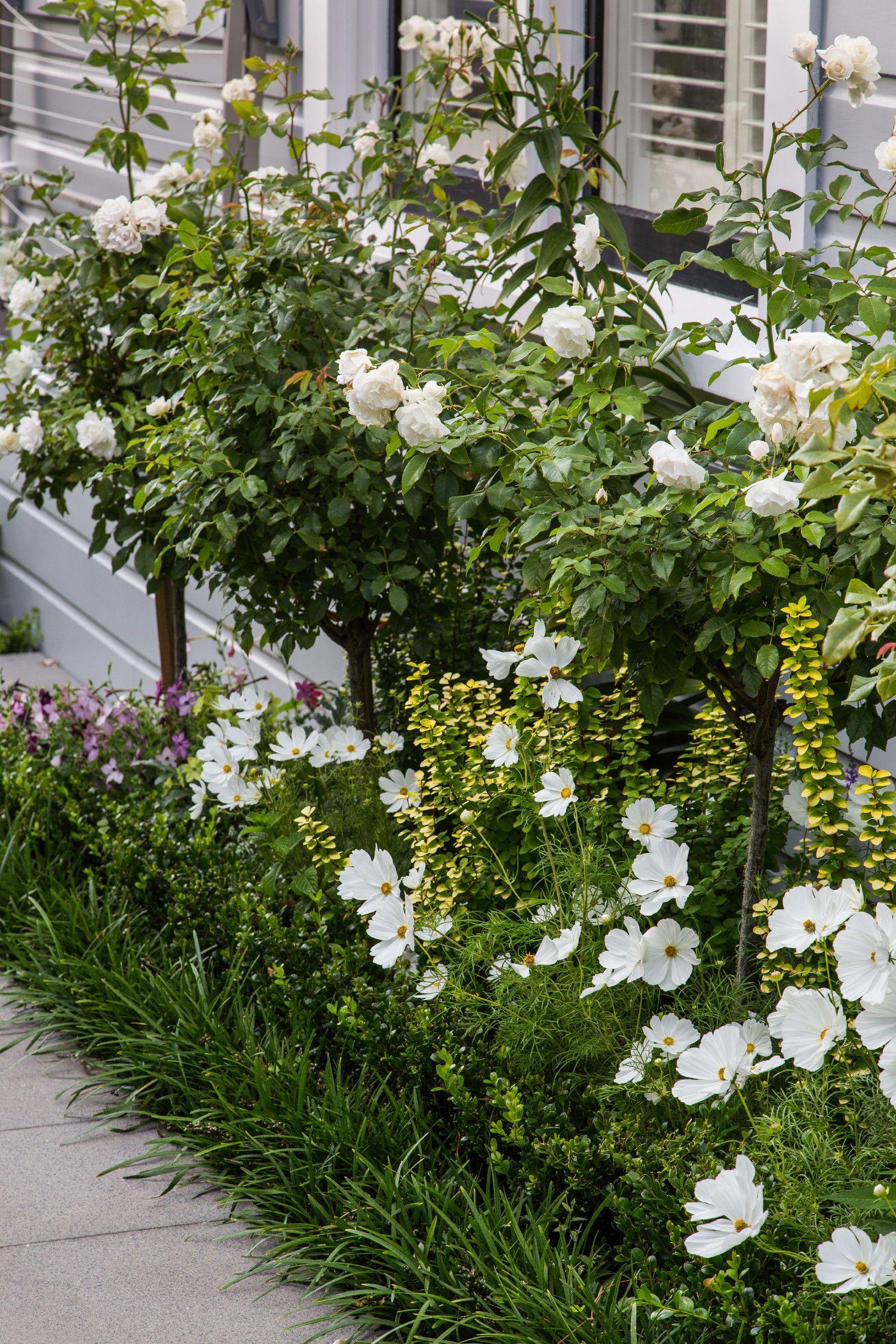White Flowering Iceberg Rose Standard Rose Garden Design Garden