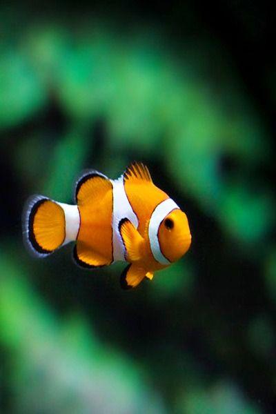 Sea Jewels Senerii Senerii Aquatic Simplicity By Clown Fish Marine Fish Beautiful Fish
