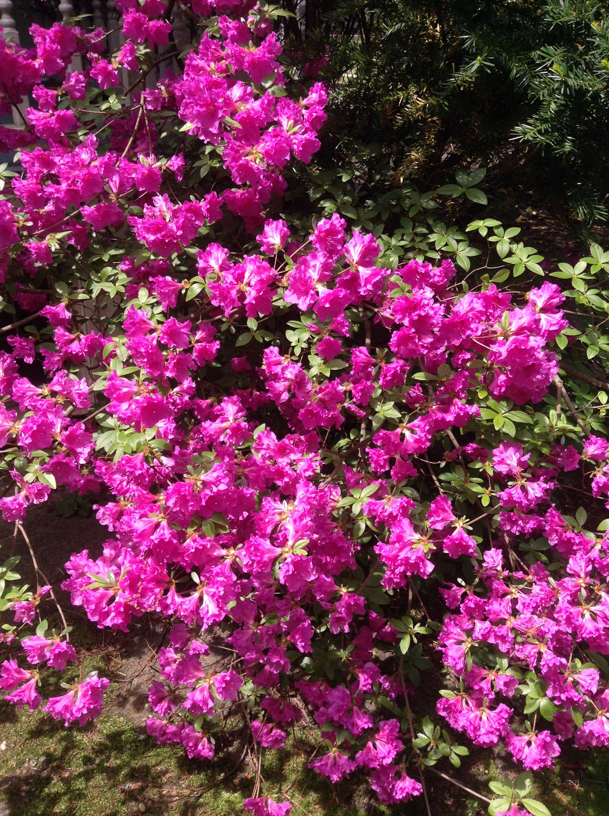 Pretty Pink Flower Bush In Season Science And Nature Pinterest