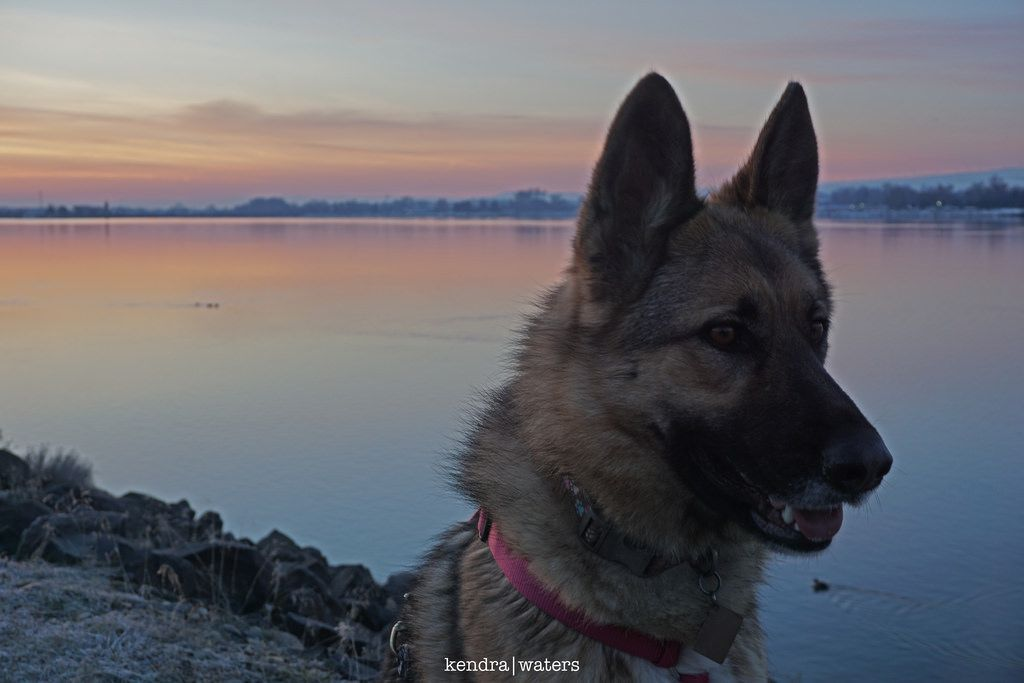 German shepherd #gsd #German #shepherd #gsdpuppy #gsdlove #gsdsofigworld #germanshepherdsofigworld #germanshepherddog #gsdofpinterest #gsdlover