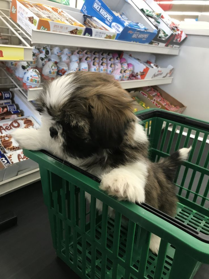 Larry shopping with images shih tzu dog shih tzu puppies