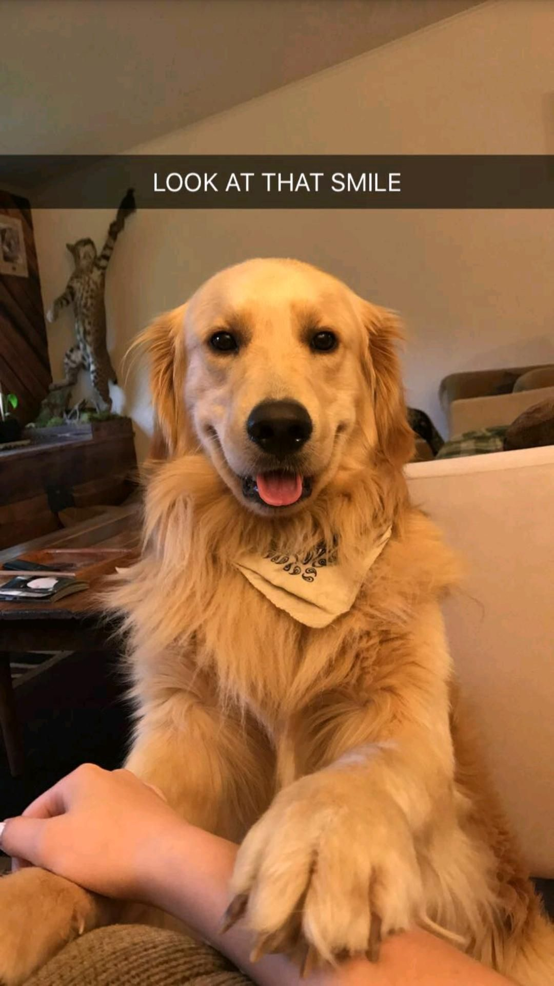 All golden owners have seen this face before httpifttt