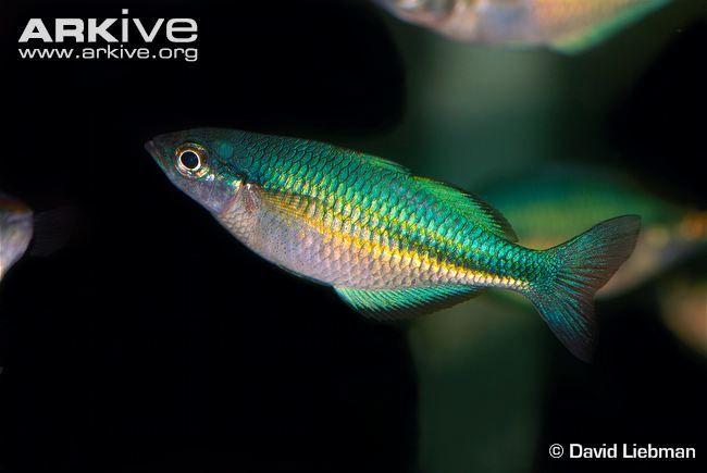Pin By Royce Gassman On Aquarium Fish Rainbow Fish Fish Beautiful Fish