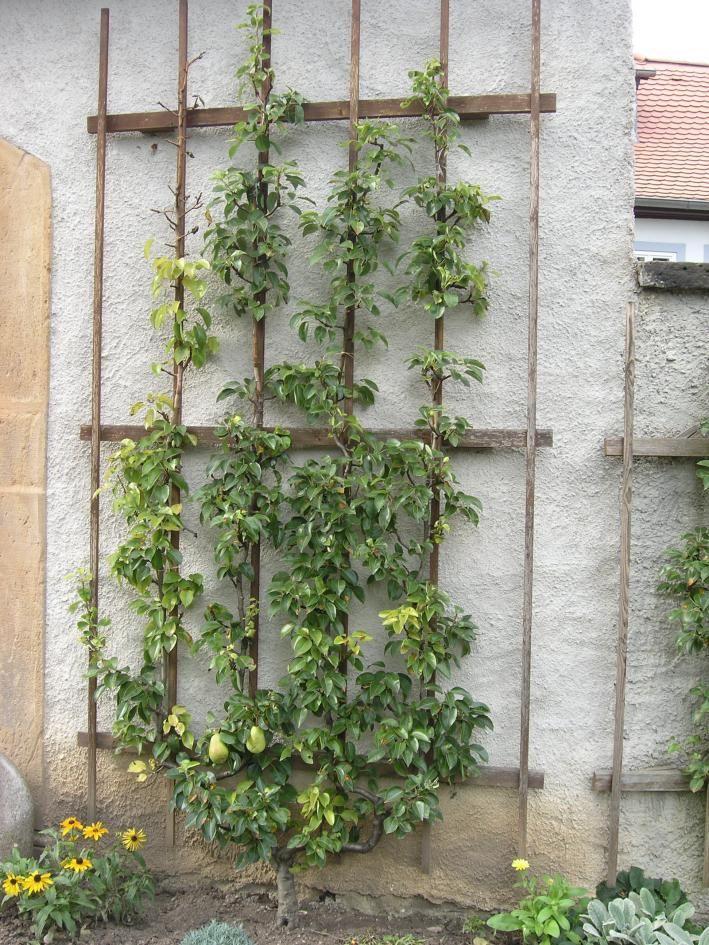 Birnenbaum Am Spalier Outdoor Decor, Patio, Trellis, Little Gardens, Fruit,  Tree