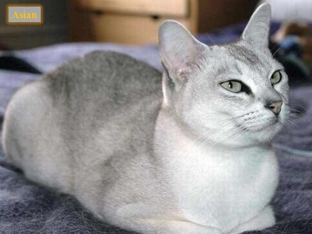 The Ultimate Guide To The Many Different Cat Breeds Burmilla Cat Cat Breeds American Bobtail Cat
