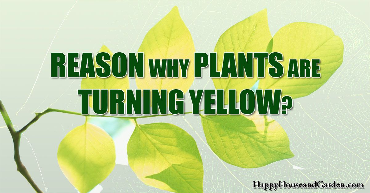 Reason Why Plants Are Turning Yellow?  Your questions answered.
