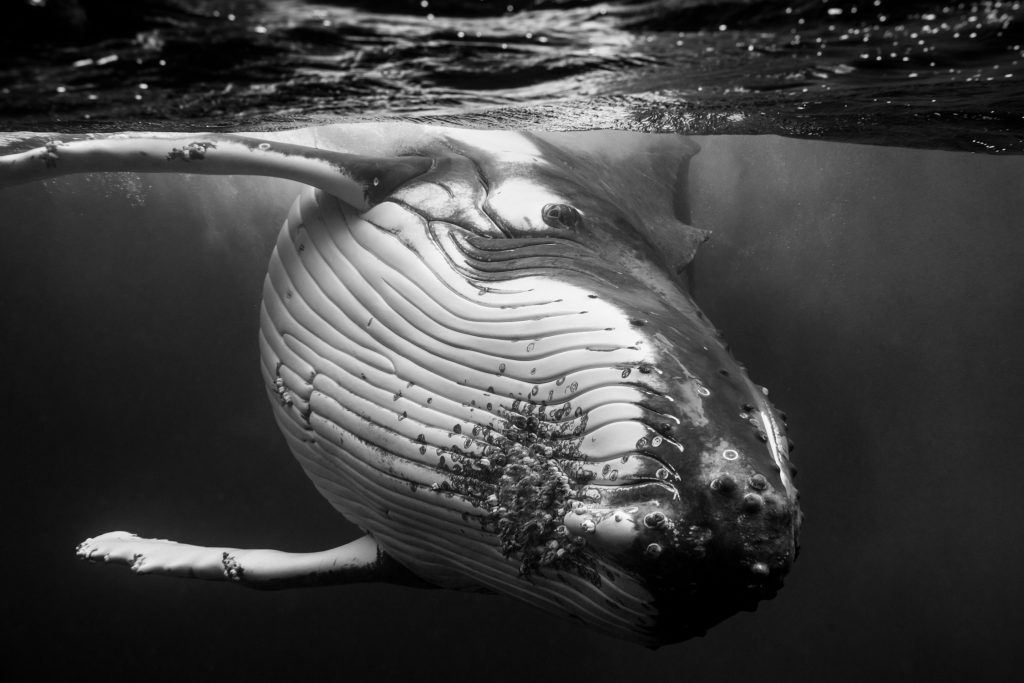 Over the last three years photographer Jem Cresswell has photographed humpback whales during their annual migration to Vava'u, Tonga, swimming with the great creatures in the vast waters of the southern Pacific Ocean.