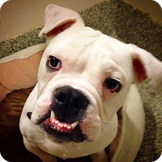 Boston Ma English Bulldog Meet Gizmo A Dog For Adoption Http