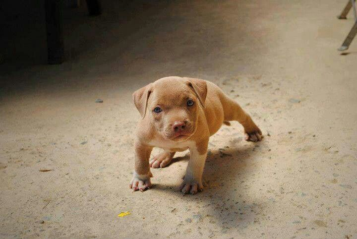 Amstaff Puppy Fawn With Images Pitbull Puppies Pitbull