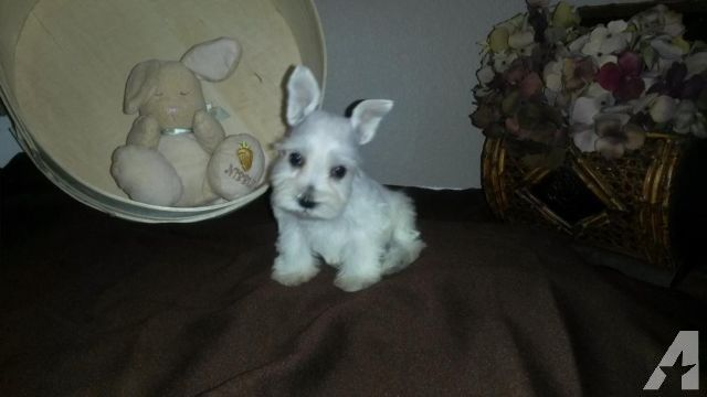 Too Cute Akc Miniature Schnauzer Puppies For Adoption 8 Week Old Schnauzer Puppy Miniature Schnauzer Puppies Puppy Adoption