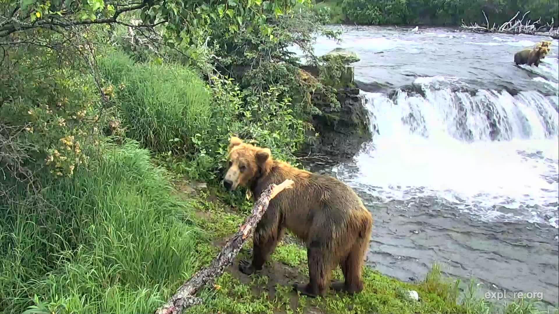 Brooks Falls Brown Bears Snapshots