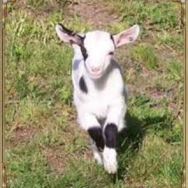 Fainting Goat- Here U Go Kelly.