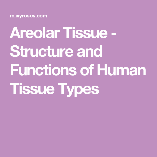 Connective Tissues Anatomy Pinterest Loose Connective Tissue