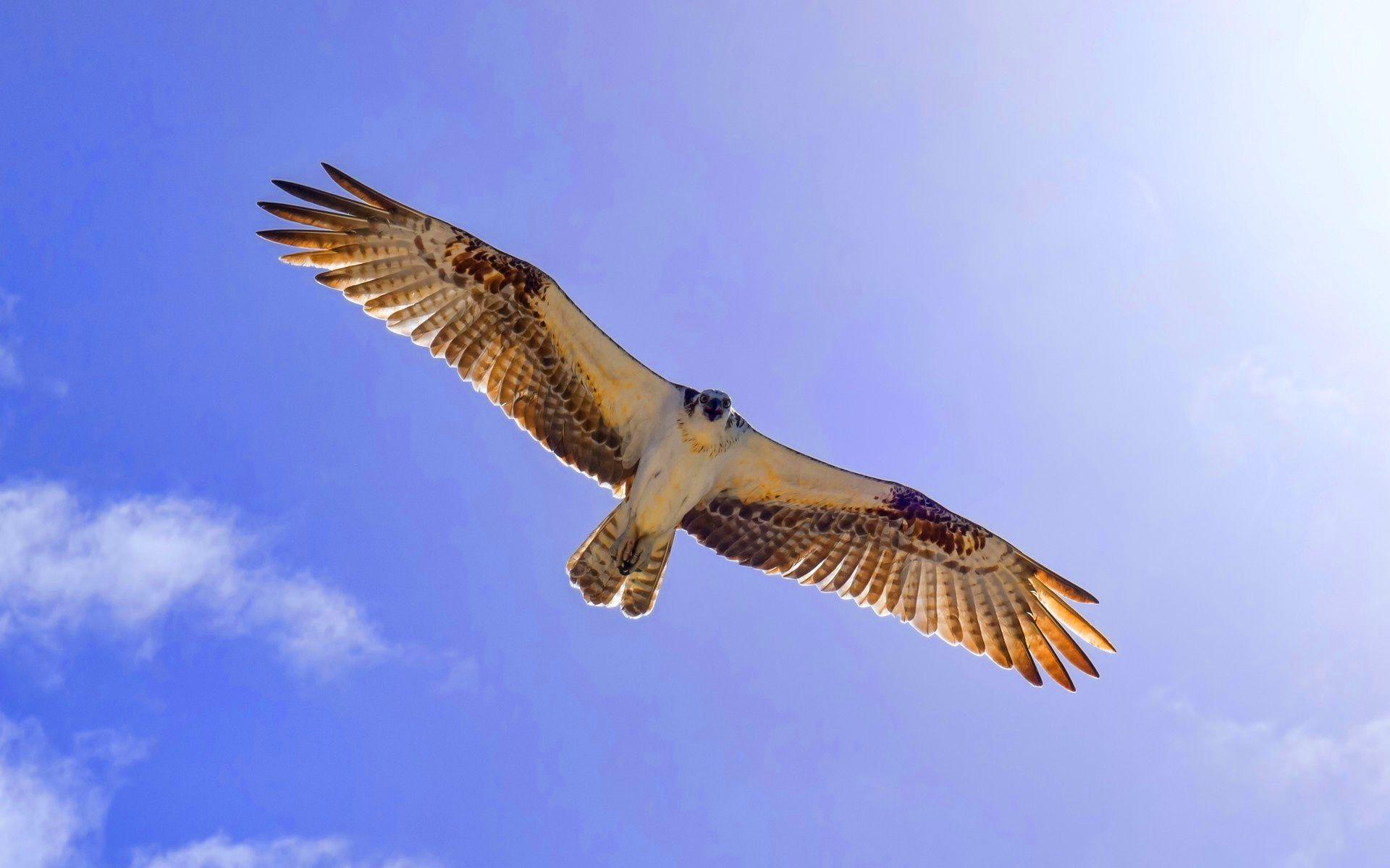 Ultra HD Flying Eagle Ultra HD Wallpapers Pinterest Eagle