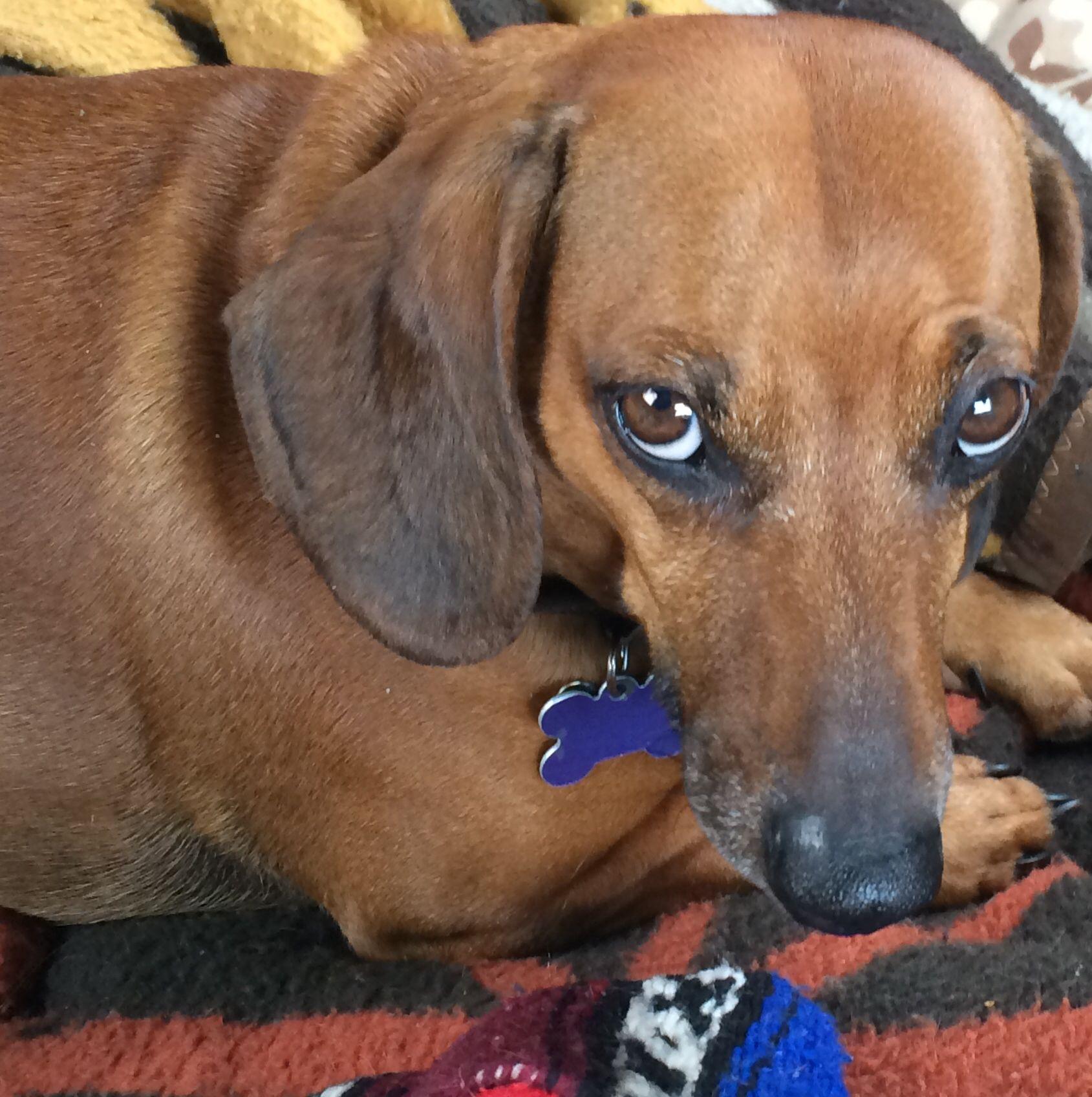 Pin On Wiener Dogs
