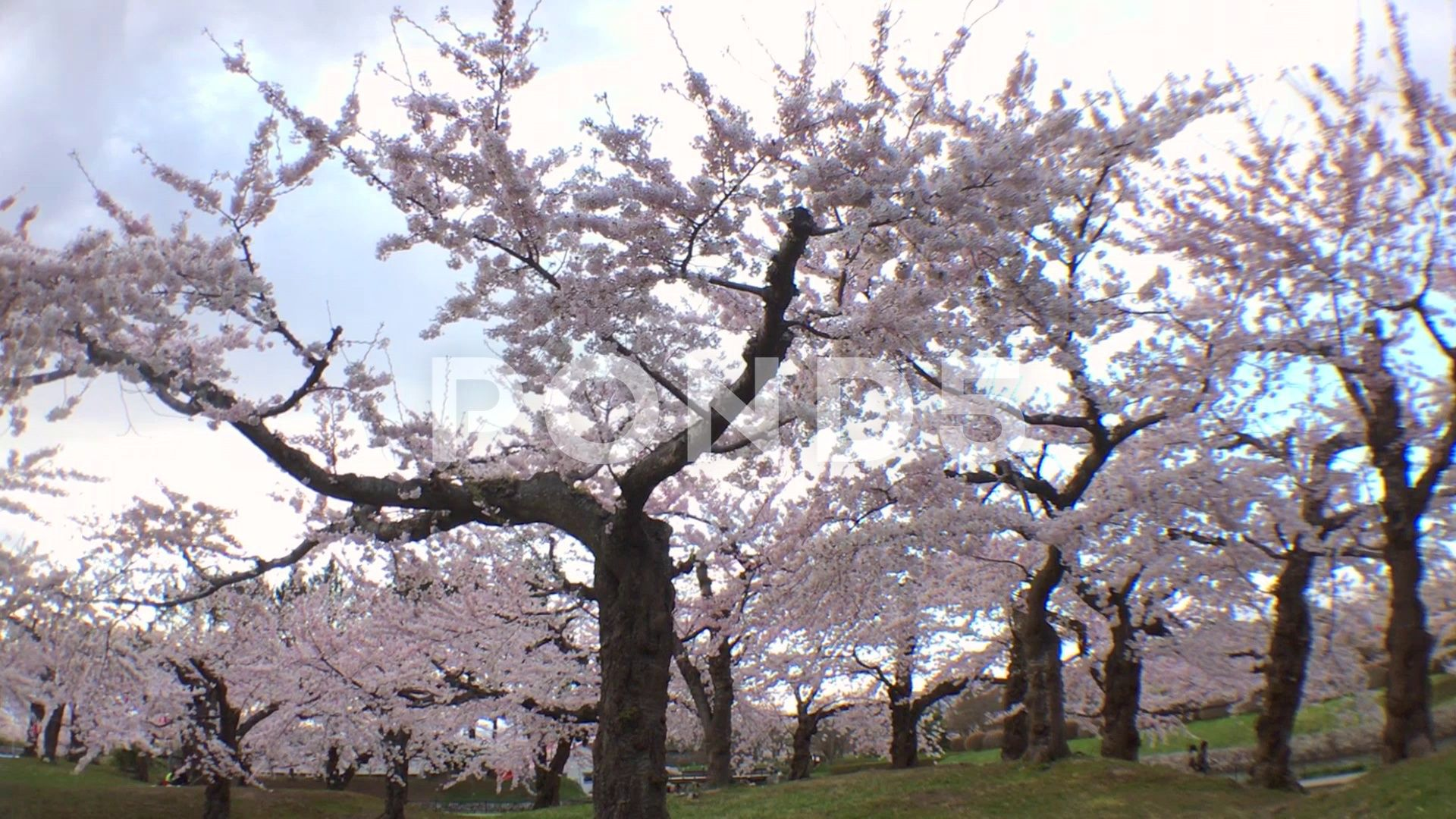People Strolling In Goryokaku Park Under Full Bloom Cherry Blossom Trees Stock Footage Ad Park Full Goryokaku People Cherry Blossom Tree Blossom Trees Park