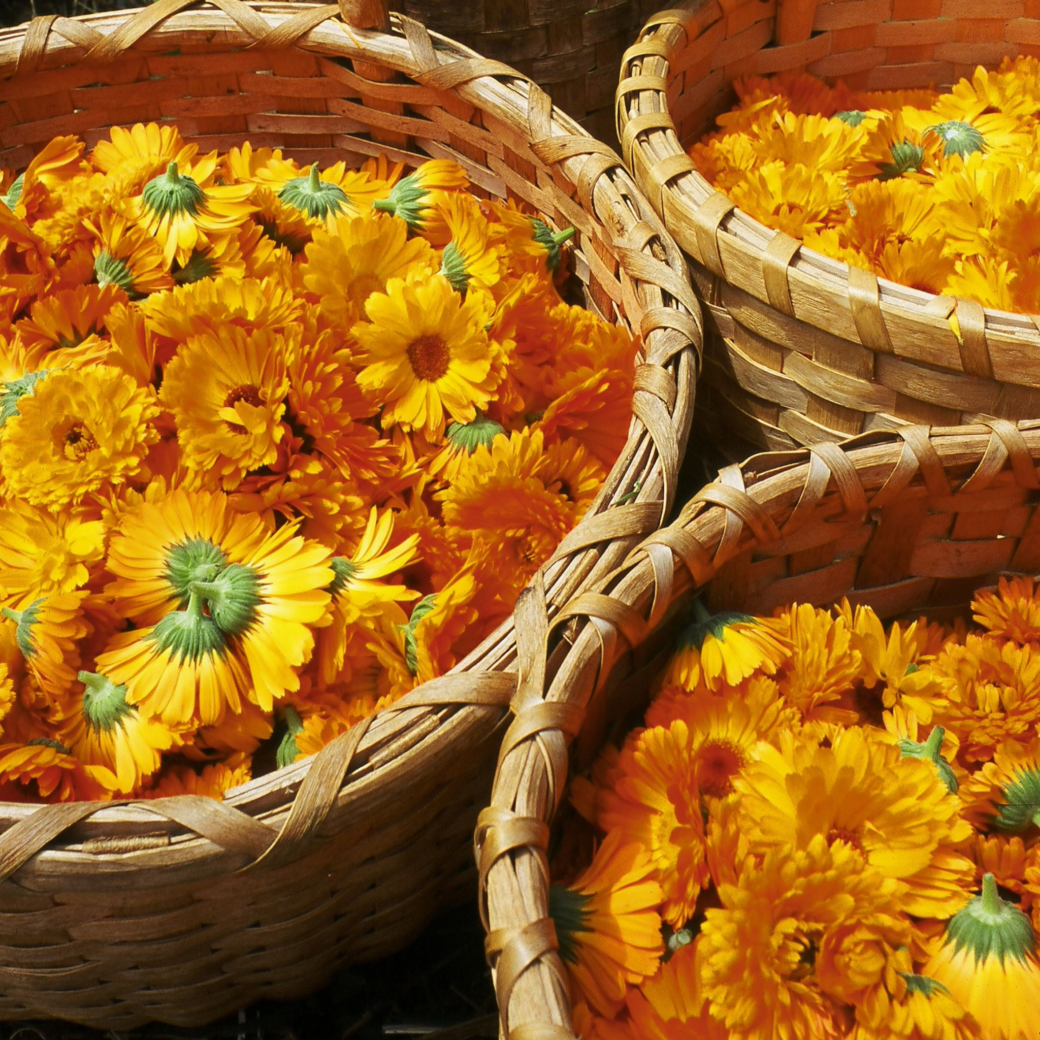 Calendula Calendula benefits, Calendula, Organic botanical