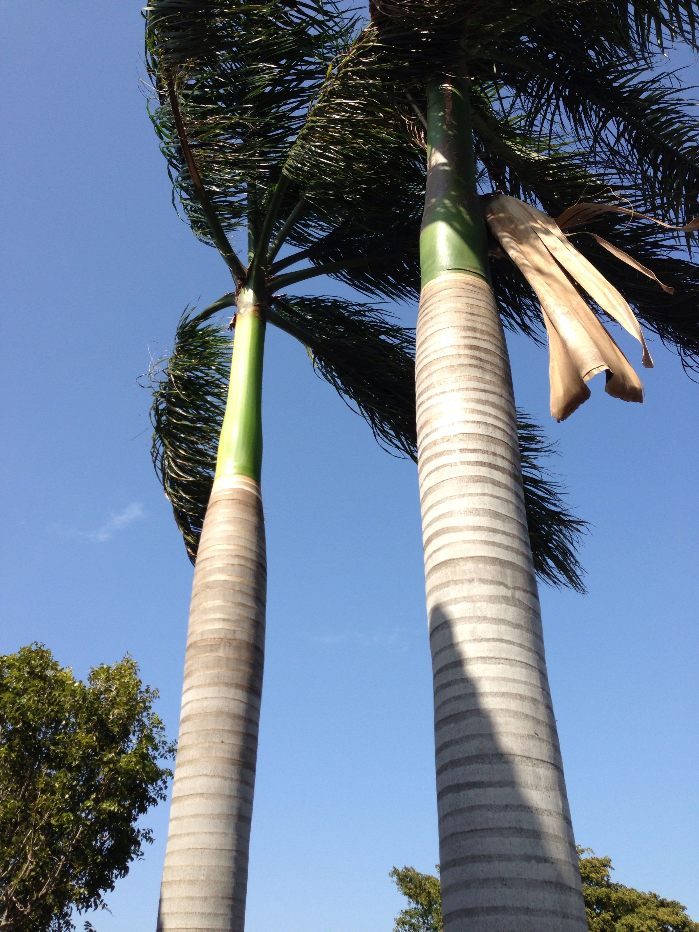 Sanibel palms