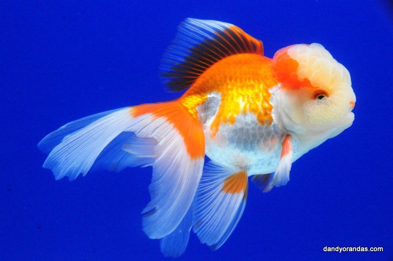 Red White Oranda Dandyorandas Com Ryukin Goldfish Goldfish Aquarium Fish