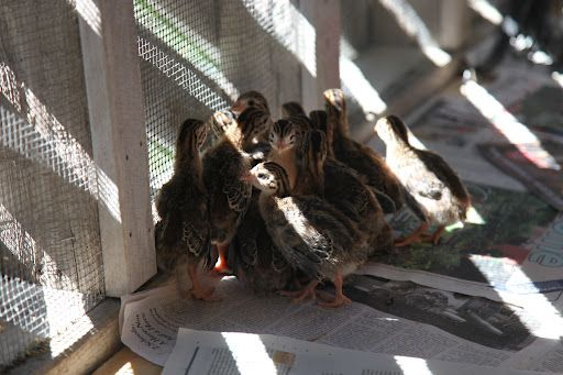 Guinea fowl chicks to eat insects.