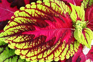 Pinch Back Coleus for Optimal Growth on http://www.hortmag.com