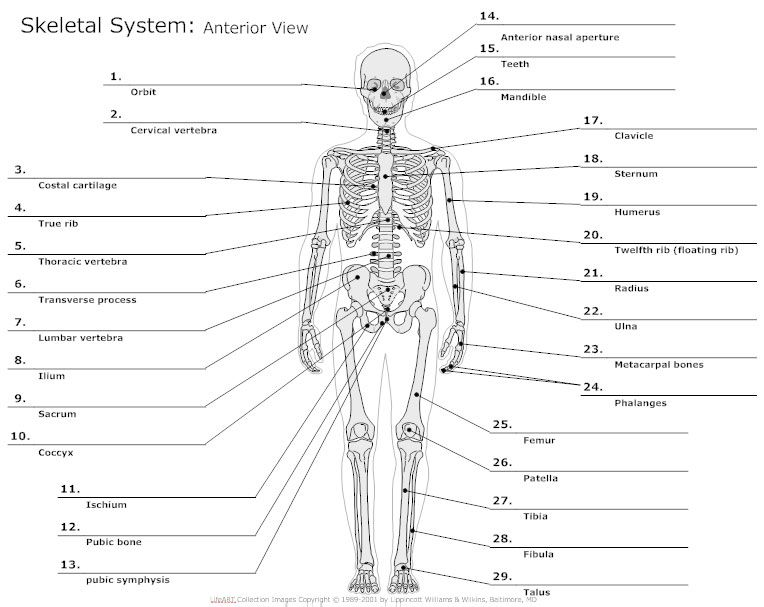Skeletal System Jpg 764 607 Anatomy Organs Anatomy And