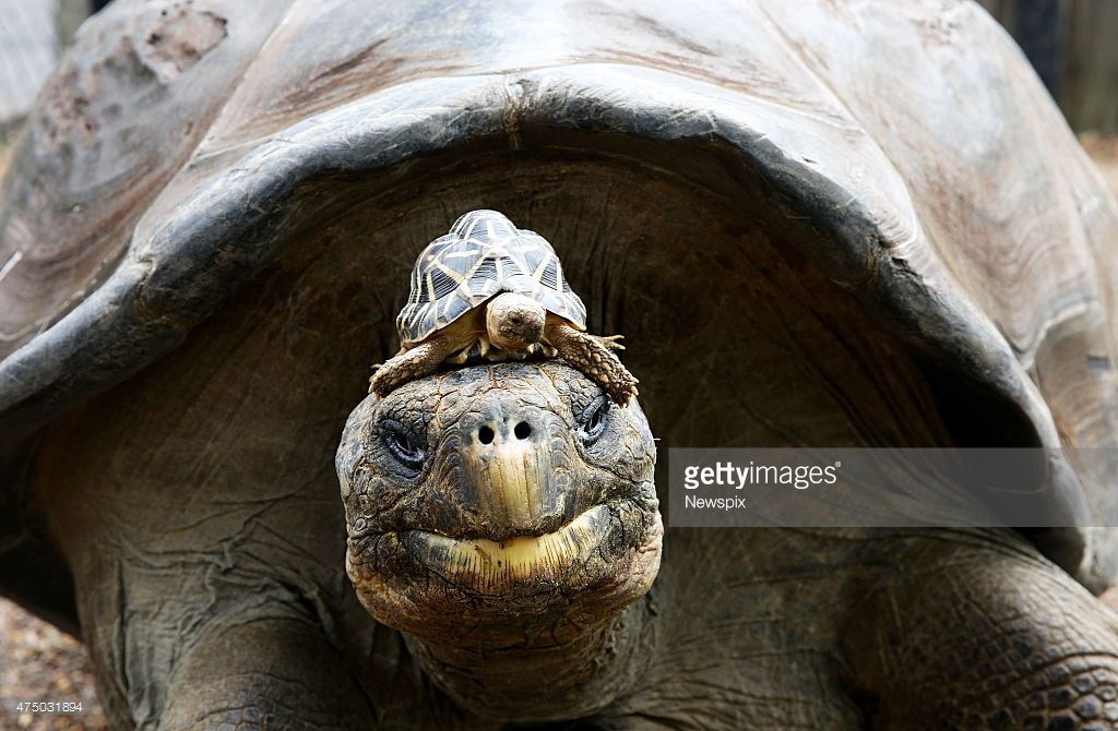 'Hugo' the giant Galapagos tortoise with an Indian star