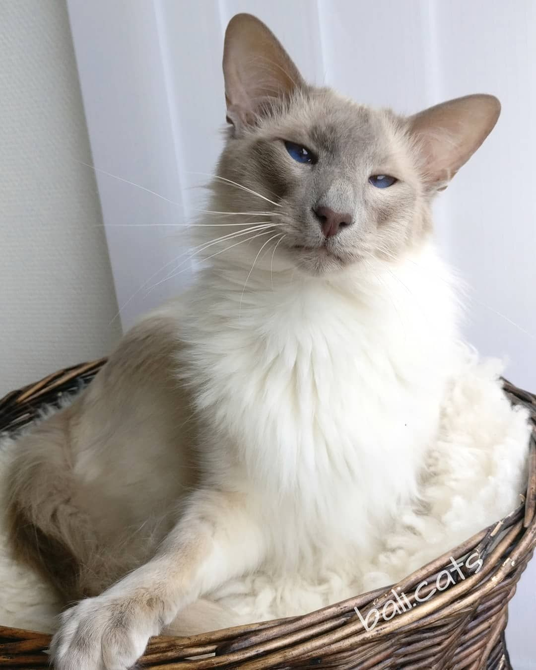 14 Reasons To Love The Balinese Cat Page 2 Of 3 Petpress In 2020 Balinese Cat Cute Cats And Dogs Cats