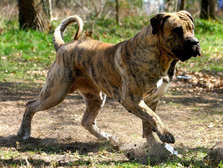 Dogo Canario 22